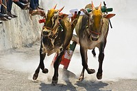 Traditional Bullock cart racing ( bailgada sharyat ) Maharashtra , India.