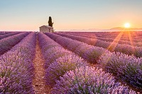 Valensole Plateau, Provence, France. Sunrise in a lavender field in bloom with lonely rural house and cypress tree, sunburst.