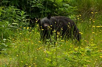 Black bear eating along the side of the road just south of Port Hardy, before Port McNeil.
