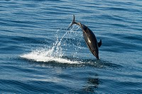 Offshore Bottlenose dolphin doing a flip out of the water.
