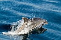 Offshore Bottlenose dolphin porpoising above the surface.