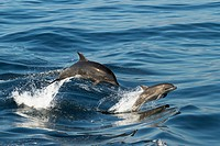 Mom and baby offshore Bottlenose dolphins porpoising out of the water in sync.