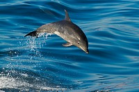 Young offshore Bottlenose dolphin porpoising out of the water.