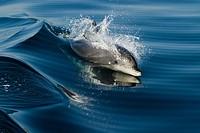 Offshore Bottlenose dolhphin at the surface alert.