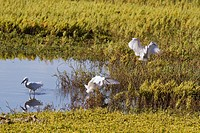 Egret flying in to join the others.