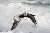 California Brown Pelican flying low with wave breaking behind it.