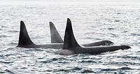 Orcas out in Hairo Strait off shore from San Juan Island, Washington, USA.