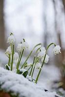Close-up of spring snowflake (Leucojum vernum) blooming in spring.