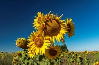 Sunflowers (Helianthus), Field of thousands of sunflowers on the vast plain of the lands of Cuenca. Spain.