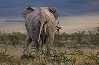 Elephant, Etosha National Park, Namibia, Africa.