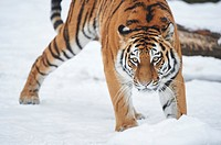 Close-up of a Siberian tiger (Panthera tigris altaica) in winter