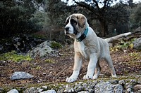 Spanish mastiff young shepherd dog, Algámitas, Sevilla, Andalucia, Spain, Europe