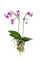 Purple and white orchid with totally visible roots isolated on white backdrop.