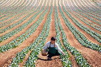 Farmer, Broccoli, Agricultural field, Funes, Navarre, Spain