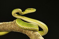 Viperidae, Red tailed pit viper, Trimeresurus erythrurus, Garjee, Tripura.