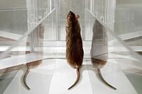 Laboratory Rat in psychology experiment, glass maze.