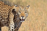 Leopard (Panthera pardus), walking, Kgalagadi Transfrontier Park, Northern Cape, South Africa, Africa.