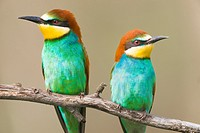 European bee-eater (Merops apiaster). Photographed in the Regional Park of Rio Guadarrama Madrid.