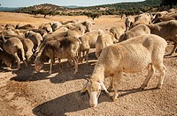 Merina sheep in summer. Alburquerque. Badajoz Province. Extremadura. Spain