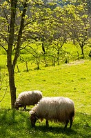Spain, Asturias, Pria, Asturian sheep