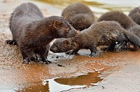 Mink (Mustela vison) Mother and pups, captive, Minnesota wildlife Connection, Sandstone, Minnesota, USA.