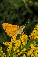 Broad-winged Skipper Butterfly (Poanes viator) Feedingg on Goldenrod (Solidago odora) Flowers Corolla, Currituck County, Outer Banks, North Carolina U...