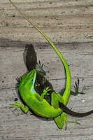Green Anole Lizard (Anolis carolinensis) Pair Mating. Morehead City, North Carolina, USA