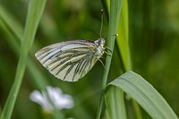 Germany, Saarland, Bexbach - A green-veined white is sitting on a grass-stock.