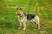 German shepherd dog. The dog is running in a green field in Bulgaria.
