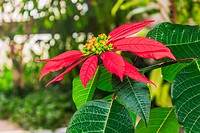 Red poinsettia flower. The photo is taken in winter garden in domestic home in Sofia, capital of Bulgaria, Europe.