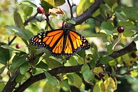 Close up of a male Monarch butterfly with wings spread resting in a Malus Prairifire Crabapple tree in Trevor, Wisconsin, USA.