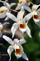Close-up of a white orchid in full bloom.
