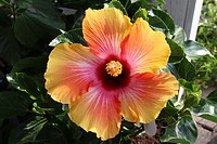 Close up of a Misty Sunrise Hibiscus in full bloom.