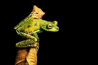 Palm Treefrog (Hypsiboas pellucens), Treefrog family, Choco rainforest, Canande River Reserve, Choco forest, Ecuador.