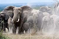 African elephant herd taking a dust bath (Loxodonta africana) Queen Elizabeth National Park, Uganda, Africa.