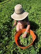 Small-scale farmer on an artisanal organic farm harvests summer greens in Johnston, Rhode Island, USA