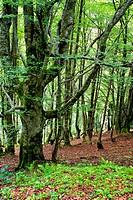 Beechwood. Saja-Besaya Natural Park. Cantabria. Spain.