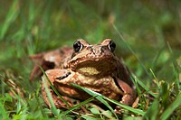 Common frog; Rana temporaria; Geesthacht; Schleswig-Holstein; Germany.