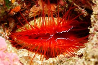 Electric Flame Scallop, Ctenoides ales, also known as a Disco Clam. These beautiful shells hide in caves or under ledges. They flash an electric blue ...