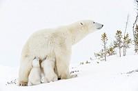 Polar bear mother (Ursus maritimus) feeding two new born cubs, Wapusk National Park, Manitoba, Canada.