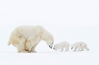 Polar bear mother (Ursus maritimus) standing on tundra with two new born cubs, Wapusk National Park, Manitoba, Canada.