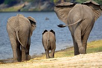 African Elephants (Loxodonta africana), in the river, Chobe National Park, Botswana.