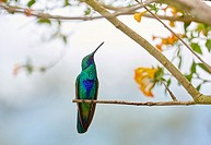 Colibri, Hummingbird, Trochilinae, Valle del Cocora, Salento, Quindio, Colombia, South America