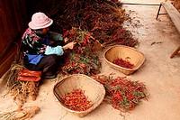 Women sorting peppers, puzhehai, Yunnan province, China
