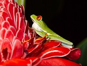 Red eyed tree frog (Agalychnis callidryas) . Tortuguero National park, Limon province, Costa Rica.