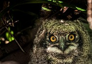 Cape Eagle Owl chick peeks out from the nest. Cape Town, South Africa