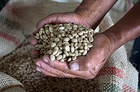 Dried coffee beans ready for roasting at Hacienda San Alberto. Buenavista town, Quindio, Colombia. Colombian coffee growing axis. The Colombian coffee...