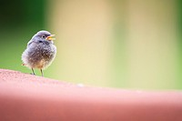 Black redstart (Phoenicurus ochruros) chick waiting on a rooftop for its parents to return with some food. Reit im Winkl. Upper Bavaria. Germany.