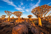 The Quiver Tree Forest (Kokerboom Woud in Afrikaans) is a forest and tourist attraction of southern Namibia. It is located about 14 km north-east of K...