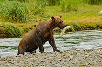 Grizzly emerging from stream with salmon in its mouth.